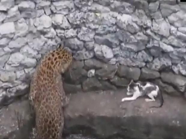 Clip: Báo hoa mai đuổi nhau với mèo rồi rơi xuống giếng, mặt đối mặt dọa nhau nhưng thái độ của mèo khiến MXH phục sát đất - Ảnh 3.