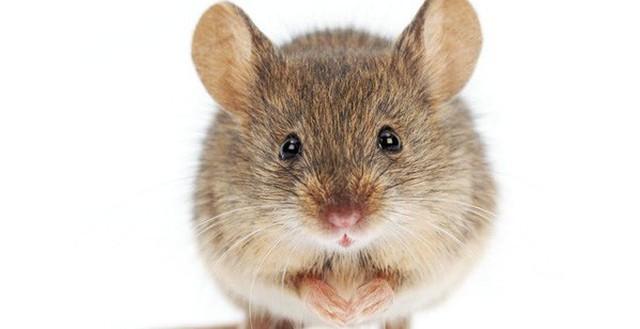 Ý nghĩa của hình ảnh chú chuột trong dân gian như thế nào?
