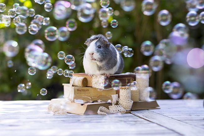 Loài chuột thật đáng ghét nhưng bé chuột lang béo núc ních thì không - Ảnh 5.