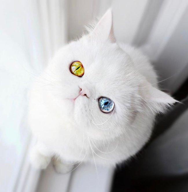 Gặp gỡ chú mèo Pam Pam có hai màu mắt long lanh khác lạ - Ảnh 1.