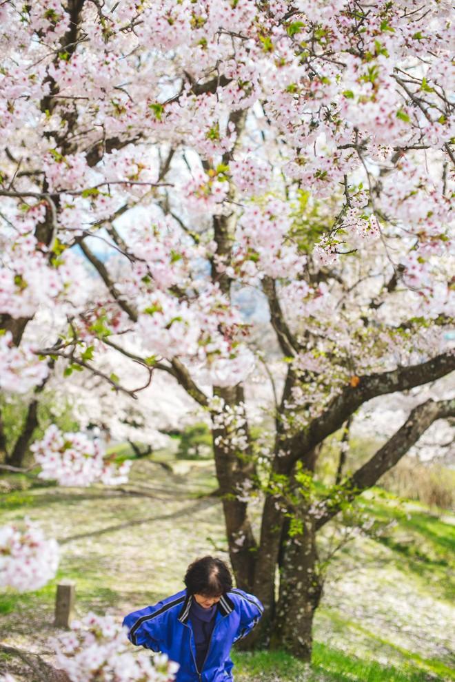 Ra đây mà xem người ta kéo nhau sang Nhật ngắm hoa anh đào hết rồi! - Ảnh 6.
