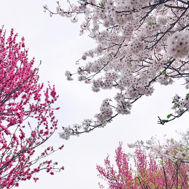 Ra đây mà xem người ta kéo nhau sang Nhật ngắm hoa anh đào hết rồi! - Ảnh 8.