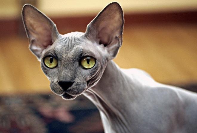 Loại mèo Sphynx trụi lông có gì đặc biệt mà sở hữu mức giá cao ...