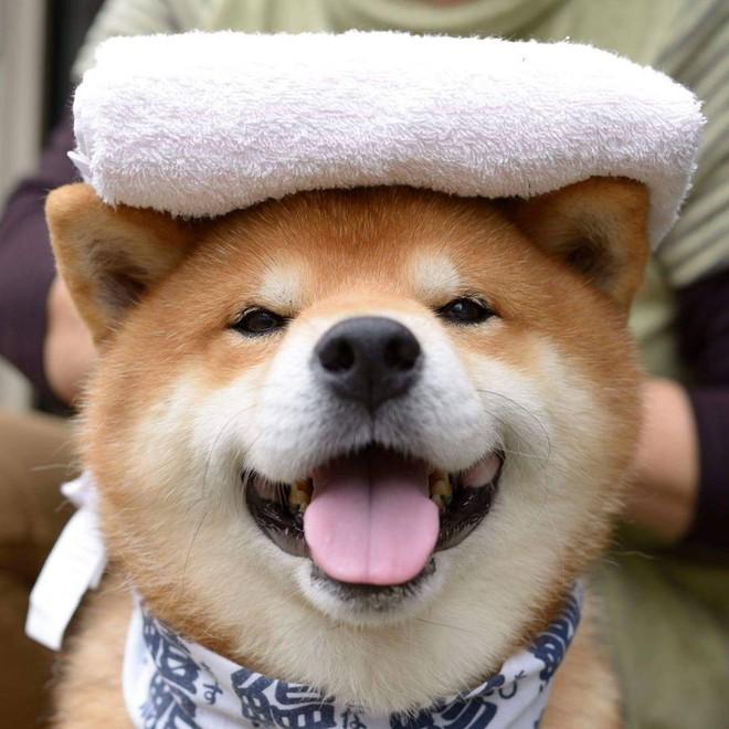 """Chú chó Shiba Inu đẹp trai, vui tính được mệnh danh """"thánh biểu cảm"""" của Nhật Bản - Ảnh 13."""