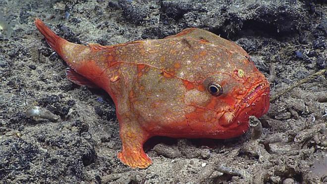 Phát hiện dưới đáy biển loài cá mồm rộng có chân đi lại thoăn thoắt - Ảnh 2.