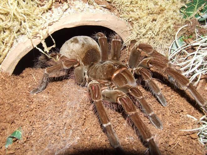 Cận cảnh loài nhện lớn nhất thế giới - có thể xơi tái chuột trong chớp mắt - Ảnh 8.
