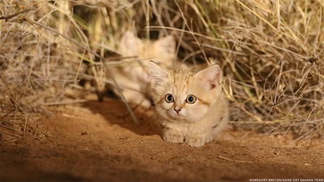 Giống mèo mini mới được ghi hình lần đầu tiên tại sa mạc - Ảnh 7.