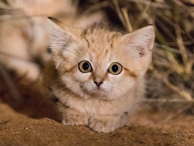 Giống mèo mini mới được ghi hình lần đầu tiên tại sa mạc - Ảnh 9.