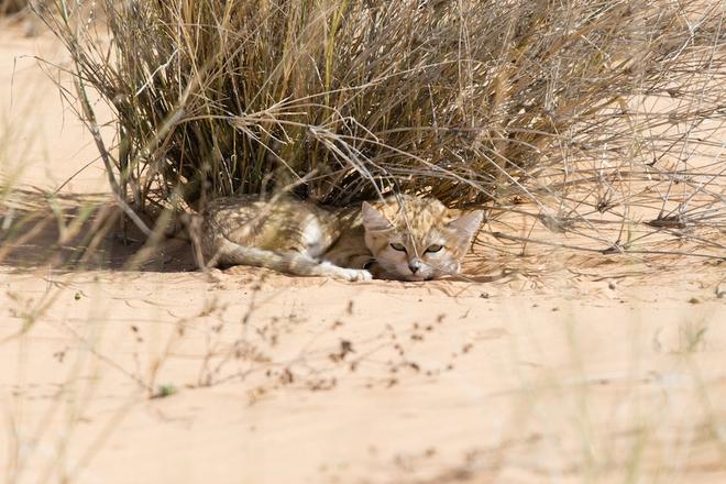 Giống mèo mini mới được ghi hình lần đầu tiên tại sa mạc - Ảnh 11.