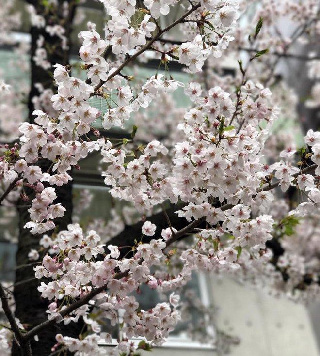 Ra đây mà xem người ta kéo nhau sang Nhật ngắm hoa anh đào hết rồi! - Ảnh 9.