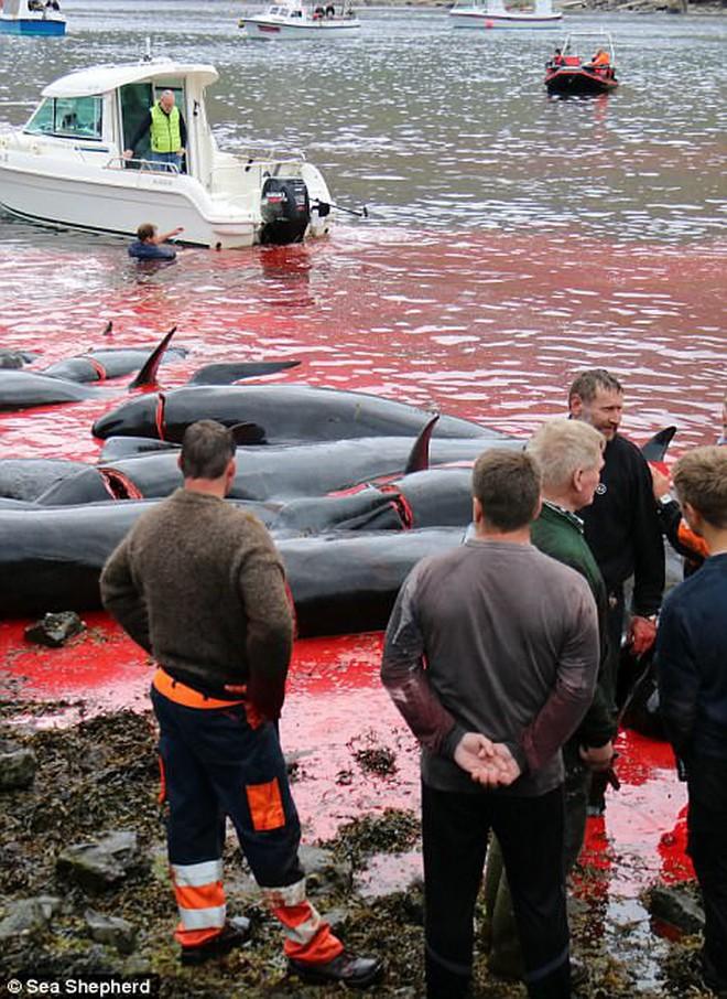Cả vùng nước chuyển đỏ vì máu: Thảm cảnh hàng ngàn chú cá voi hoa tiêu bị giết hại, xả thịt dã man bên bờ biển - Ảnh 11.