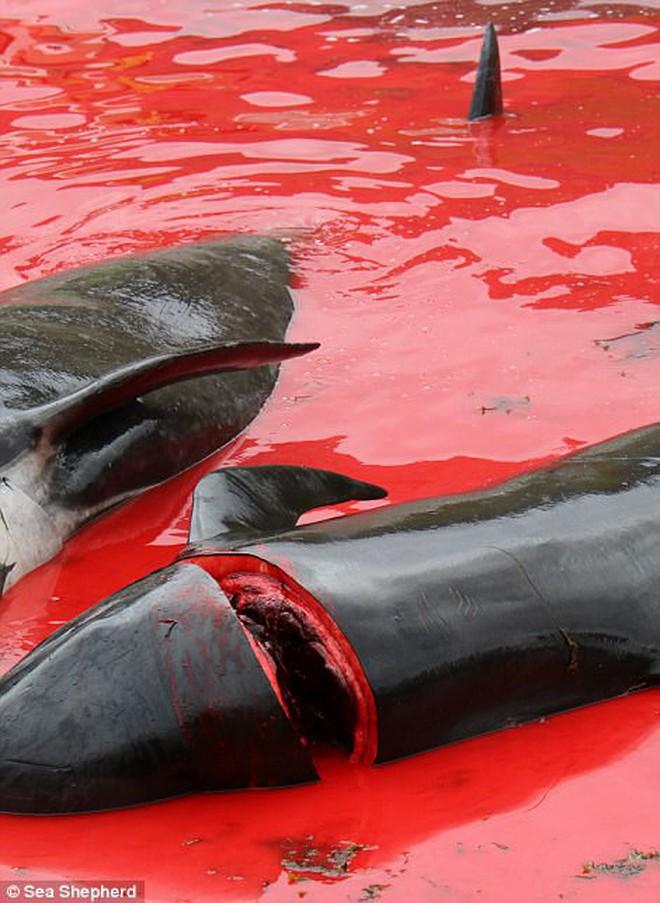 Cả vùng nước chuyển đỏ vì máu: Thảm cảnh hàng ngàn chú cá voi hoa tiêu bị giết hại, xả thịt dã man bên bờ biển - Ảnh 10.