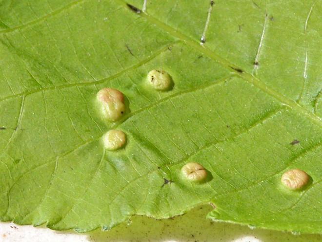 Sống trên đời từ đó đến nay bạn có biết các nốt sần trên lá sung thực chất là gì không? - Ảnh 2.