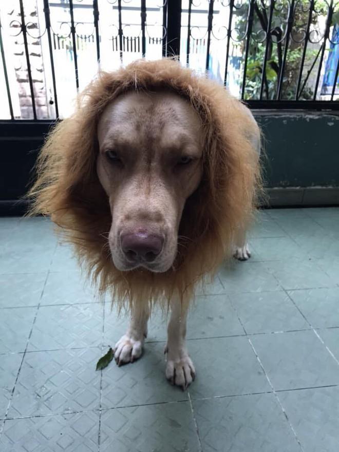 Nuôi chó to nhưng thấy chưa đủ dữ dằn? hãy biến nó thành một con sư tử như chú boss dưới đây - Ảnh 6.