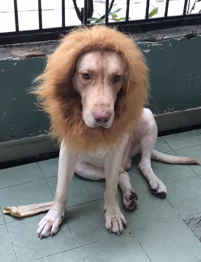 Nuôi chó to nhưng thấy chưa đủ dữ dằn? hãy biến nó thành một con sư tử như chú boss dưới đây - Ảnh 5.