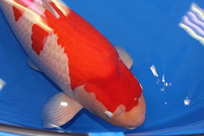 """Đây là """"nữ hoàng"""" cá Koi đắt nhất thế giới với giá gần 42 tỷ đồng - Ảnh 2."""