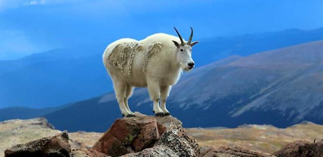 Mỹ: vườn quốc gia phải di dời hàng trăm con dê vì... rình mò du khách đi vệ sinh - Ảnh 1.