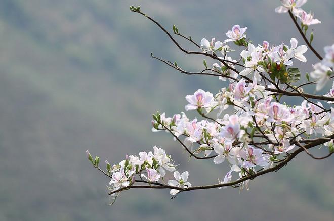 """Có ai nghĩ rằng loài hoa Tây Bắc năm nào giới trẻ cũng tìm để """"sống ảo"""" lại có thể ăn được và rất ngon là đằng khác - Ảnh 1."""