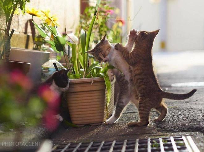 Chùm ảnh: Khi lũ boss mèo chăm chỉ luyện tập võ công, chờ đến ngày đi chiếm lấy thế giới - Ảnh 24.