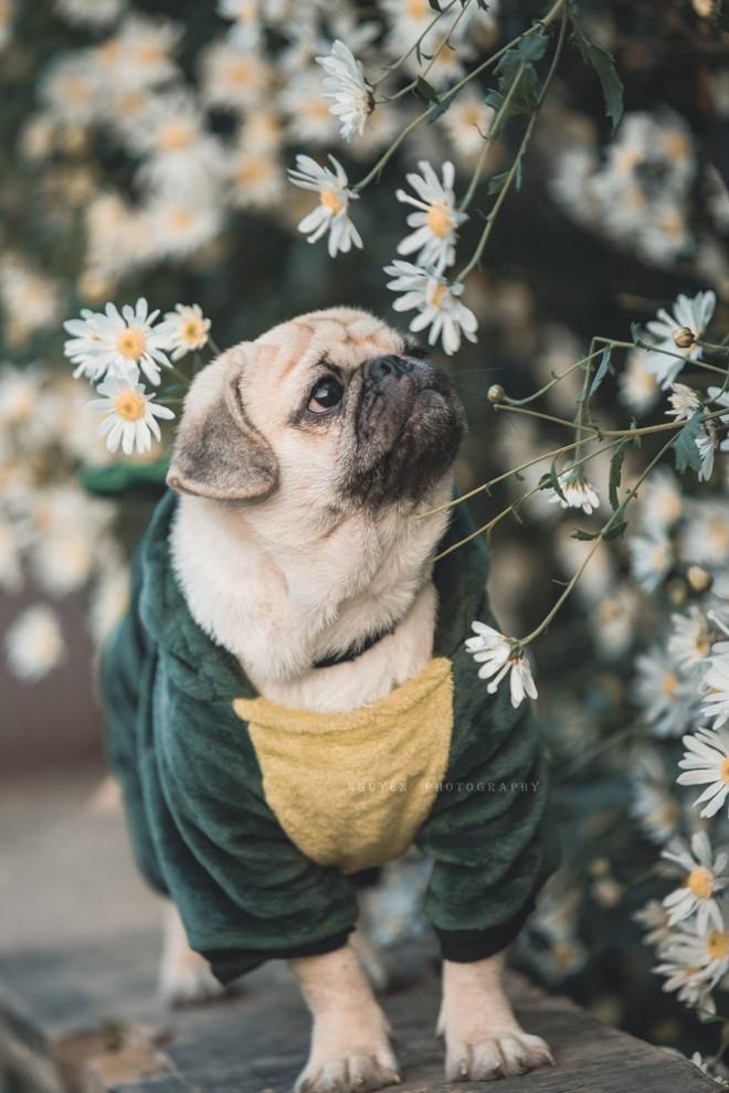 Chó pug mặt xệ thần thái trong vắt ngây thơ thả dáng bên cúc họa mi không thua gì mẫu xịn - Ảnh 3.