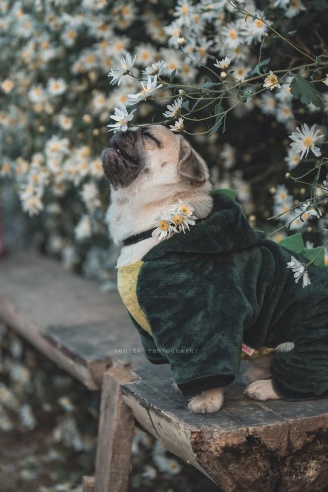 Chó pug mặt xệ thần thái trong vắt ngây thơ thả dáng bên cúc họa mi không thua gì mẫu xịn - Ảnh 1.