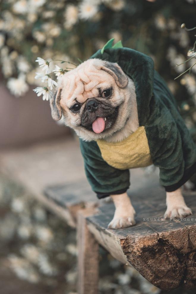 Chó pug mặt xệ thần thái trong vắt ngây thơ thả dáng bên cúc họa mi không thua gì mẫu xịn - Ảnh 2.