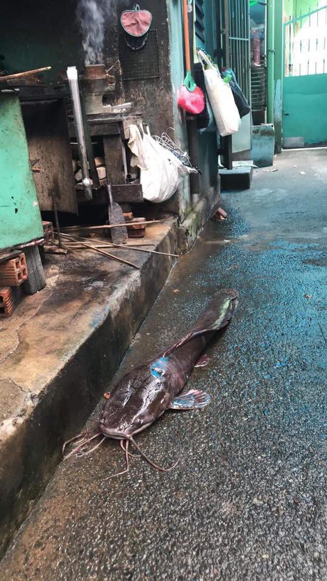 """Hình ảnh con cá trê dài cả mét, """"xấu phát hờn"""" khiến cả xóm chẳng ai dám ăn gây xôn xao - Ảnh 2."""