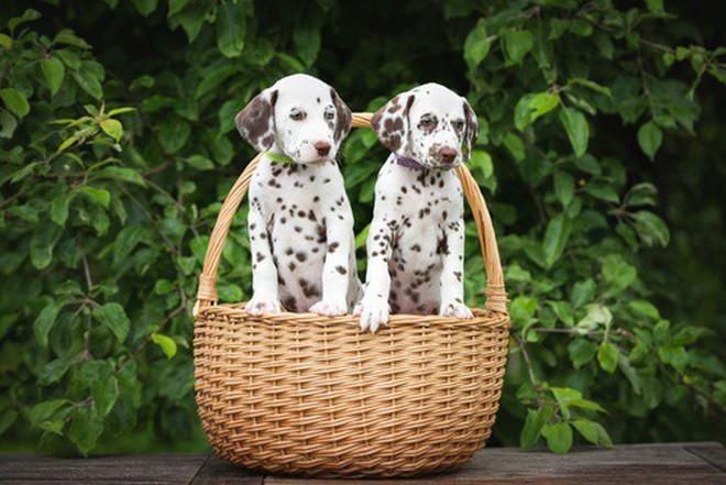 9 giống chó sở hữu vẻ ngoài siêu cưng nhưng không thích hợp với các gia đình có trẻ nhỏ - Ảnh 2.