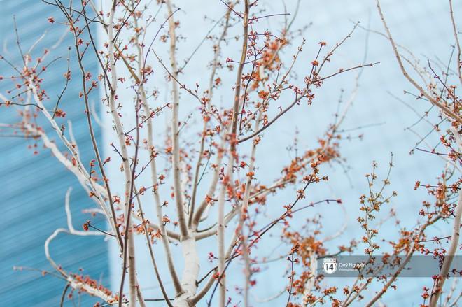 """Hàng cây phong lá đỏ từng được ví như những """"cành củi khô"""" bắt đầu nảy lộc đúng dịp Tết Nguyên đán - Ảnh 5."""