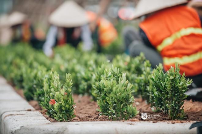 """Hàng cây phong lá đỏ từng được ví như những """"cành củi khô"""" bắt đầu nảy lộc đúng dịp Tết Nguyên đán - Ảnh 9."""