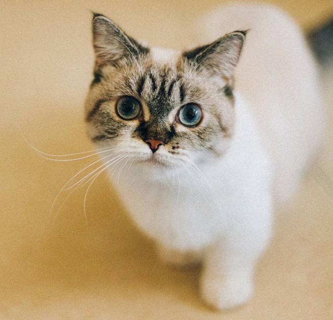 Cute lạc lối: Khi mèo Mỹ chân ngắn học cách vẫy tay như mèo Thần Tài - Ảnh 3.