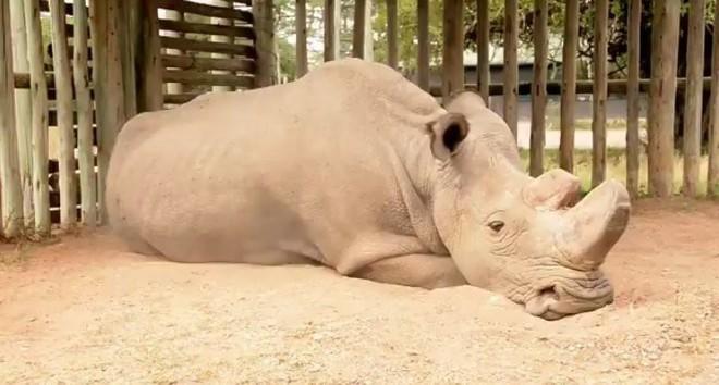 Chú tê giác trắng đực Bắc Phi cuối cùng trên thế giới qua đời - niềm hy vọng mong manh cuối cùng bị dập tắt - Ảnh 1.