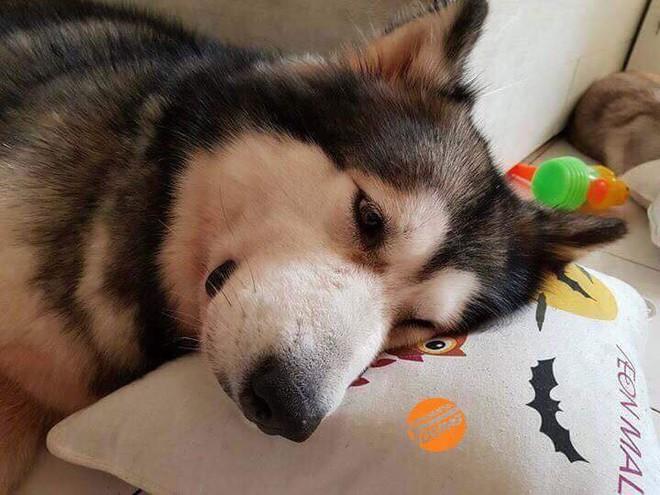 Câu chuyện cảm động về chú chó Alaska thông minh, cứu cả gia đình chủ trong đám cháy kinh hoàng tại chung cư ở Sài Gòn - Ảnh 1.