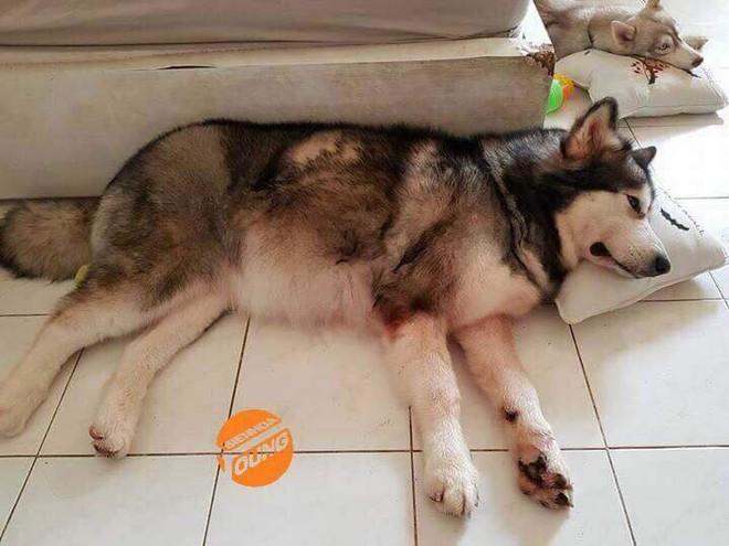 Câu chuyện cảm động về chú chó Alaska thông minh, cứu cả gia đình chủ trong đám cháy kinh hoàng tại chung cư ở Sài Gòn - Ảnh 2.