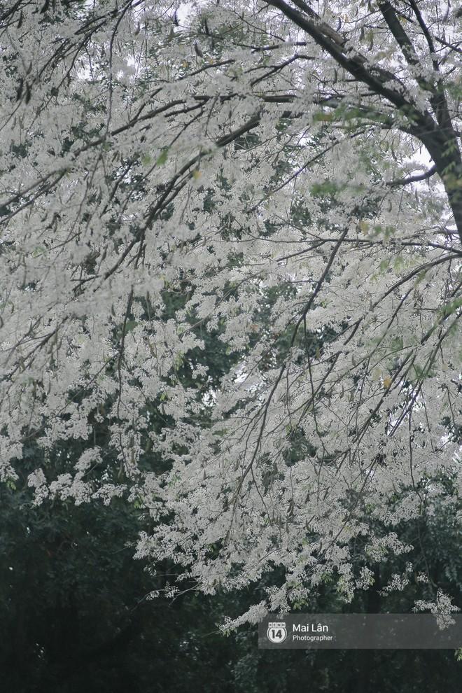 Chùm ảnh: Đây là Hà Nội, của những ngày trắng muốt hoa sưa... - Ảnh 6.