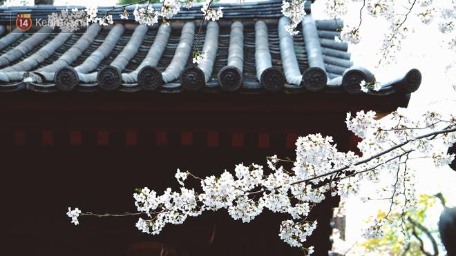 Mùa hoa anh đào ở Nhật Bản, cứ bước ra đường là góc nào cũng đẹp! - Ảnh 7.