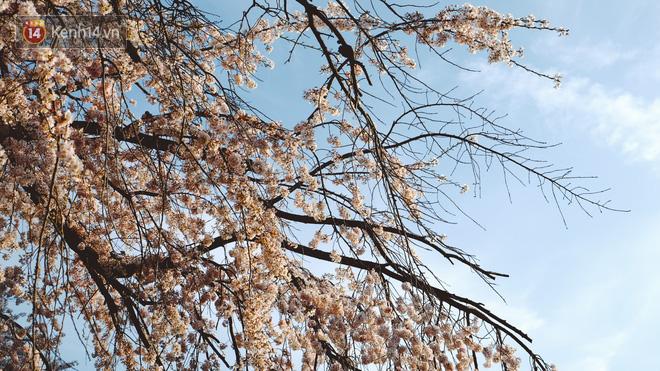 Mùa hoa anh đào ở Nhật Bản, cứ bước ra đường là góc nào cũng đẹp! - Ảnh 14.