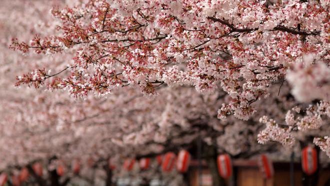 Hoa anh đào muối: tinh hoa ẩm thực Nhật Bản, đến đây thì nhất định phải ăn thử - Ảnh 1.
