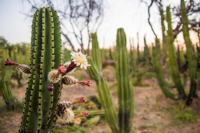 Tròn xoe mắt kinh ngạc với loại thanh long 7 sắc cầu vồng ở Mexico - Ảnh 2.