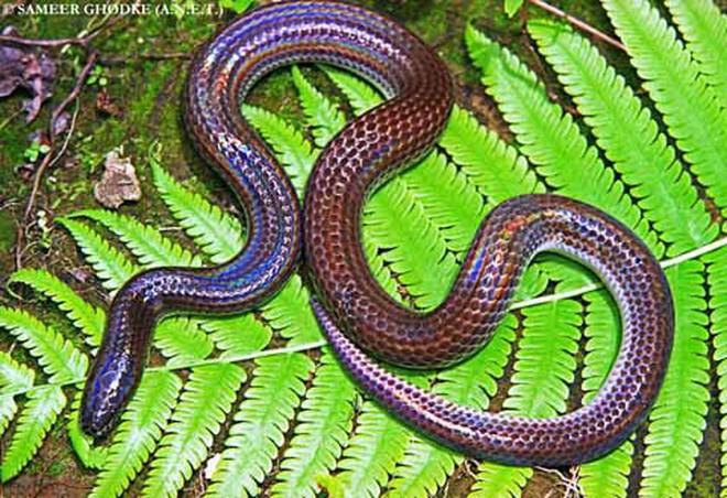 Loài rắn này cực lạ kỳ với khả năng phát ra màu sắc óng ánh dưới ánh nắng, có rất nhiều ở Việt Nam 1-1528726977377838905339
