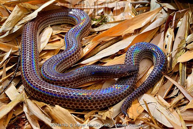 Loài rắn này cực lạ kỳ với khả năng phát ra màu sắc óng ánh dưới ánh nắng, có rất nhiều ở Việt Nam 90748763-1528726977379313206597
