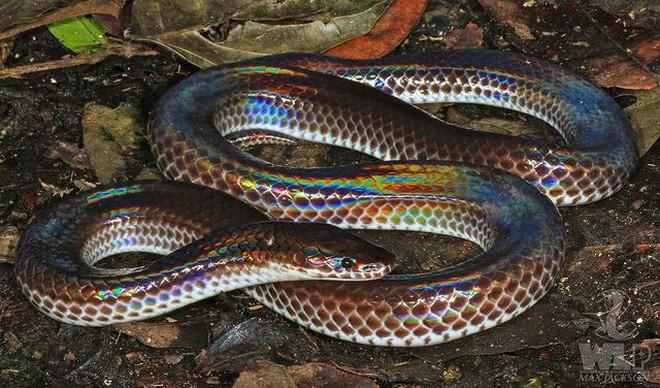 Loài rắn này cực lạ kỳ với khả năng phát ra màu sắc óng ánh dưới ánh nắng, có rất nhiều ở Việt Nam Abe235a77338c15bf8de1ba408473783-1528727030903369099708