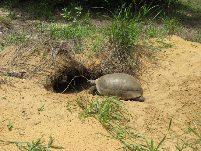 Khoa học Mỹ phát báo động khẩn: Hơn 60% loài rùa trên hành tinh sắp bị tuyệt chủng - Ảnh 2.