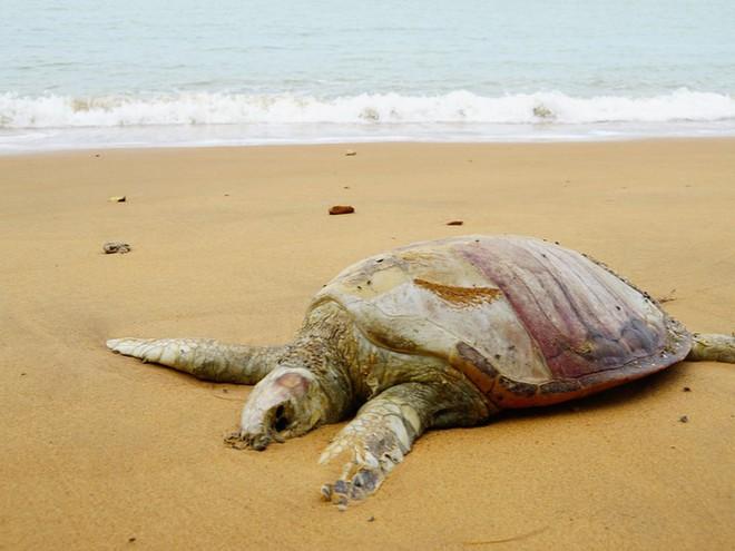 Khoa học Mỹ phát báo động khẩn: Hơn 60% loài rùa trên hành tinh sắp bị tuyệt chủng - Ảnh 1.