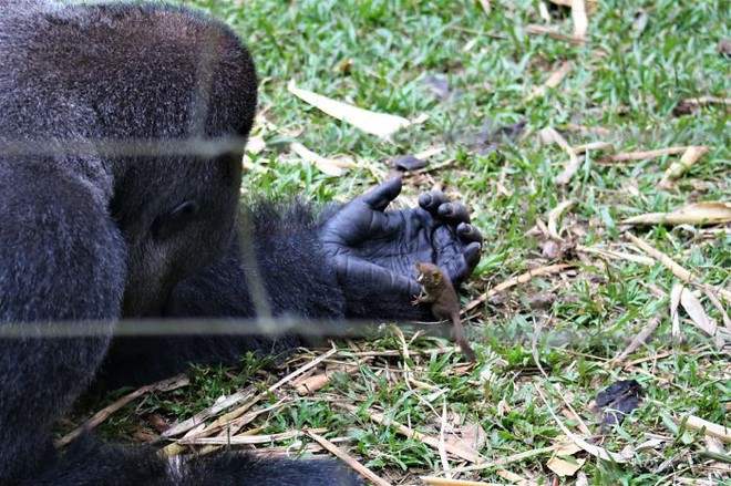 Tan chảy với tình bạn kì lạ nơi hoang dã của chú Gorilla khổng lồ và người bạn tí hon - Ảnh 2.