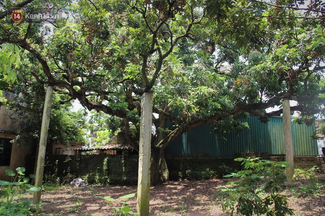 Hà Nội: Cận cảnh cây nhãn tổ khổng lồ 130 tuổi, mỗi năm thu hoạch gần một tấn quả 2