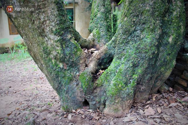 Hà Nội: Cận cảnh cây nhãn tổ khổng lồ 130 tuổi, mỗi năm thu hoạch gần một tấn quả 3