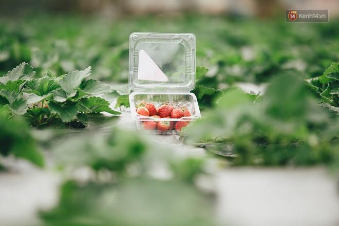 Không cần mất công đi Mộc Châu, một vườn dâu tây đã có ngay ở Hà Nội phục vụ Tết nguyên đán - Ảnh 9.