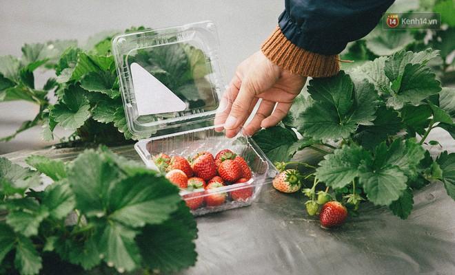 Du khách có thể trải nghiệm hái quả tại vườn