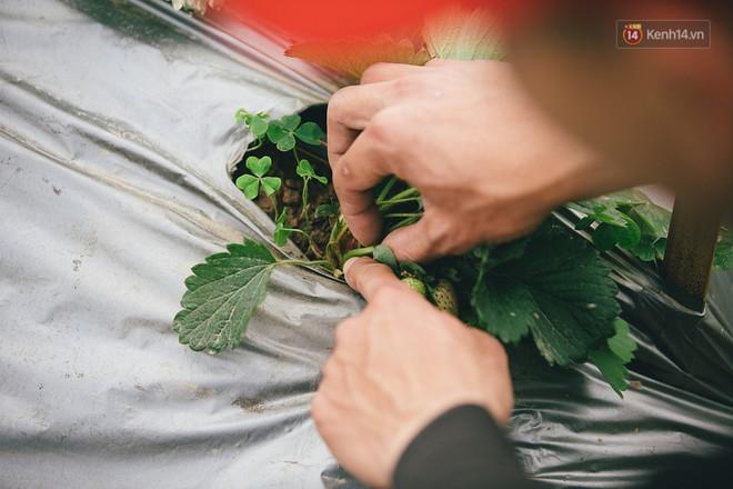 Không cần mất công đi Mộc Châu, một vườn dâu tây đã có ngay ở Hà Nội phục vụ Tết nguyên đán - Ảnh 8.